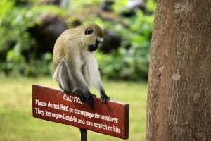 Monkey sitting on a wooden sign with a warning that it is dangerous to feed animals
